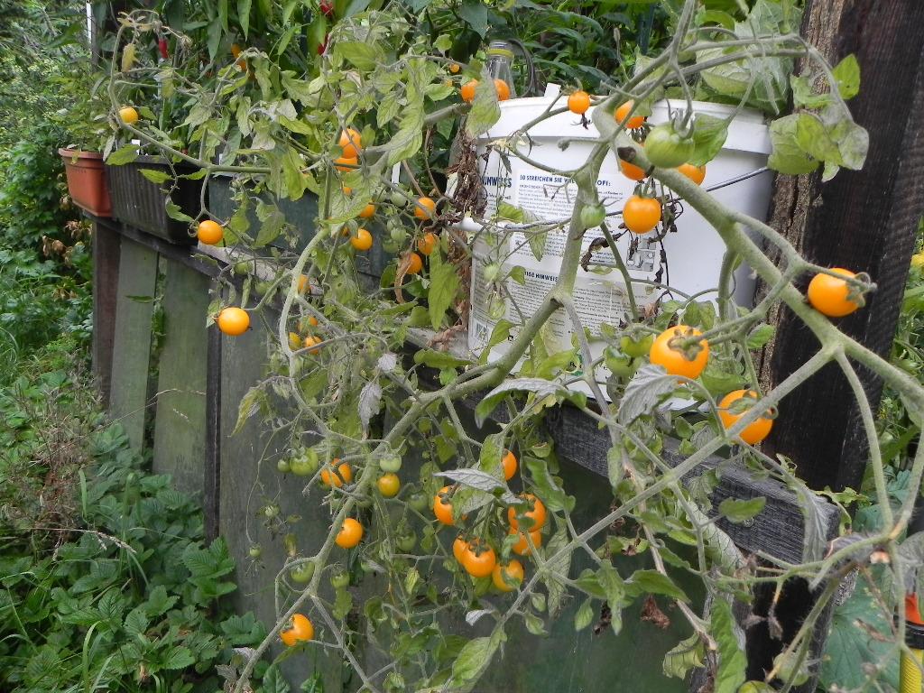 wenn tomaten zu hoch werden